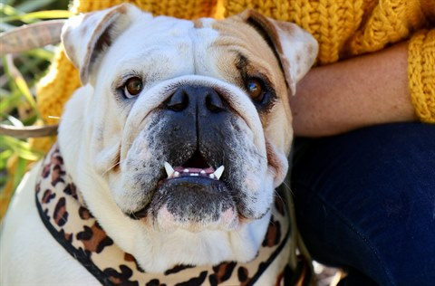 Brixton the British bulldog.JPG